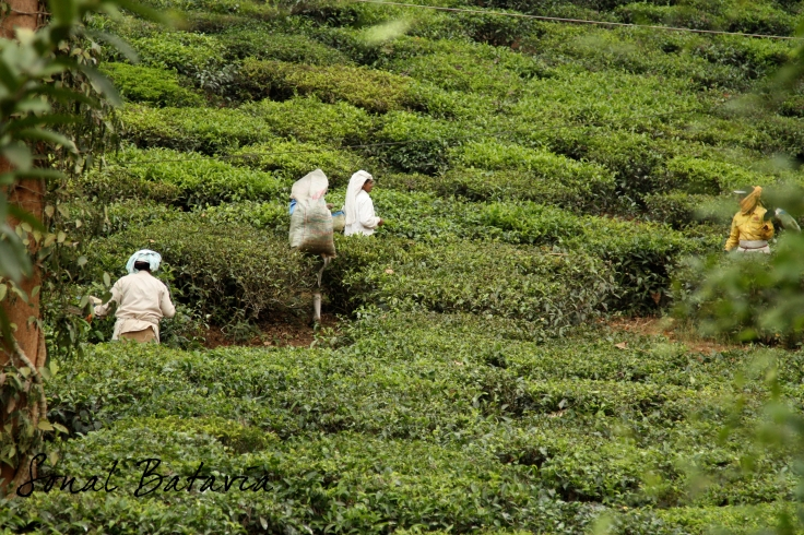 Poking through the bushes to catch the tea pickers in the fields.